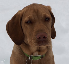 Green eyed lady killer (4 months old) (bd168) Tags: dogs labrador workingdogs chiensdetravail olympus m1442mm
