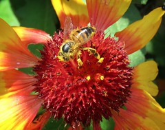 Pollen Legs (Bennilover) Tags: bee bees flowers flower bright gardens spring california pollen
