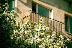 Blooming apple tree (Jess Aerons) Tags: city home house window branch nature outdoor town urban architecture apple background bloom blossoming building cherry day beautiful flower garden green park petal spring sunny tree white blooming blossom retro street closeup young decoration traditional floral florescence europe view natural new vintage blossoms balcony flowers season housing nobody summer beauty