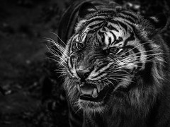 Le grognement du fauve (alexiscrozier1) Tags: fauve tigre chat félin grognement bnw blackandwhite noiretblanc photo photographie nature animaux animal animals photography nikon 200mm zoodebeauval zoo animalier art
