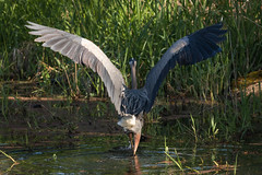 "Balancing Act (Catherine ""Cat"" Rose) Tags: 2018 greatblueheron may steigerwaldwildliferefuge"