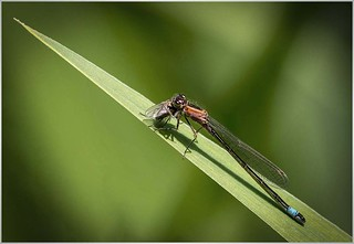Blue Tailed damselfly with fly (f)