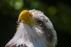 Bald Eagle (R.J.Boyd) Tags: bald eagle predator raptor bird prey gauntlet knutsford chesire usa america hunter flyer flight avian