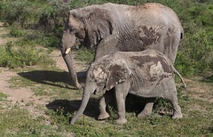 A High Sun Protection Factor (AnyMotion) Tags: africanelephant afrikanischerelefant loxodontaafricana elephants elefanten mud schlamm skincare hautpflege sunprotectionfactor lichtschutzfaktor spf 2018 anymotion ndutu ngorongoroconservationarea tanzania tansania africa afrika travel reisen animal animals tiere nature natur wildlife 7d2 canoneos7dmarkii ngc npc