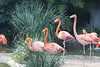 Find something you're passionate about and keep tremendously interested in it… (ferpectshotz) Tags: sandiego sandiegozoo pink pinkflamingo bird wadingbird flamecolored