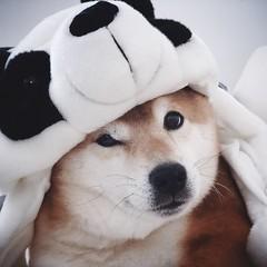 Panda? What panda? (pjen) Tags: shibainu shiba finland shibaken nihonken hiro dog koira primitive breed spitz japanese 日本犬 柴犬 urajiro 9years panda doge pet