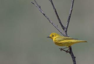 Paruline Jaune  -  Yellow Warbler   EXPLORE 2018-05-29