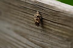 DSC00825.jpg (joe.spandrusyszyn) Tags: oaklandnaturepreserve bagwormmoth byjoespandrusyszyn psychidae unitedstatesofamerica nature lakeapopka lepidoptera florida orlando insect animal arthropod moth