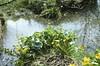 Villeneuve de Marc (Isère) (Cletus Awreetus) Tags: france isère paysage rivière eau arbre flore populage renonculacée fleur printemps