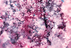 Cherry Soda Blossom (Hayden_Williams) Tags: soda blossom sparkle sparkling sparklingwater water bubble bubbles doubleexposure multipleexposure dream dreamy dreaming analog analogue canonae1 fd50mmf18 lomography lomo lomochromepurplexr100400