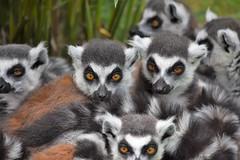 Ring Tailed Lemurs (Bury Gardener) Tags: nikond7200 nikon 2018 snaps england eastanglia uk britain banham banhamzoo zoo lemur ringtailedlemur animal animals wildlife