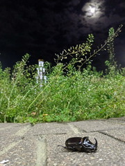 Rhinoceros beetle (Vollcov) Tags: beetle brest redbook