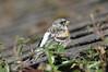 IMGP0428c Brambling, RSPB Sandy, March 2018 (bobchappell55) Tags: sandy rspb wild bird nature wildlife brambling fringillamontifringilla