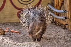 Neulich im Zoo Salzburg (Augenblicke vom Salzburger u. Berchtesgadener Land) Tags: salzburg österreich zoo zoosalzburg tiere zootiere natur stachelschwein