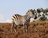 IMG_2901 (SusanKurilla) Tags: wildlife africa kenya tanzania wild safari adventure zebra