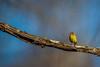 Palm Warbler (nikunj.m.patel) Tags: palmwarbler warblers nature wild wildlife outdoor nikon photography d850 birds bird avian