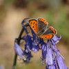 Small Cooper (microwyred) Tags: events nature flower wyreforest places beautyinnature lepidoptera smallpearlboarderedfritillary animal blue summer wildlife insect macro outdoors vibrantcolor closeup greencolor plant multicolored butterflyinsect butterfly yellow springtime animalwing