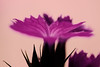 Pink Rebell (wagnerchristian.com) Tags: fineart abstract contrast flower nature purple blossom floral