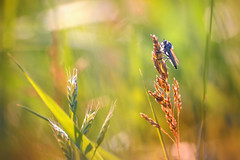 Sunbath (Pásztor András) Tags: nature robberfly summer sun light foliage grass macro detailed details insect dslr full frame nikon d700 andras pasztor photography 2018 hungary