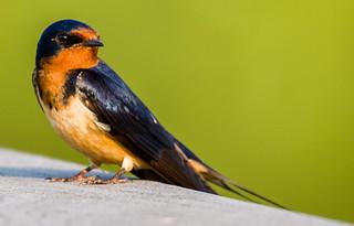 Barn Swallow!