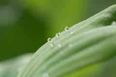 Drops (Gisou68Fr) Tags: raindrops leaf gouttesdepluie gouttes gouttelettes vert green bokeh macro laituedeau waterlettuce pistiastratiotes macromondays allnatural