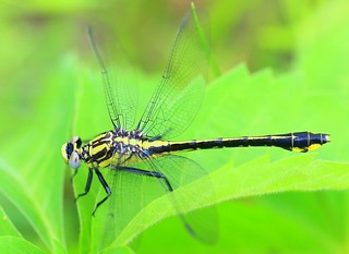 Midland clubtail (Gomphus fraternus) at Fish Farm Mounds State Preserve IA 854A5538