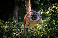 Gelbe Augen, yellow eyes (Jutta Achrainer) Tags: achrainerjutta affen ausflüge fe100400mmf4556gmoss mohrenmaki sonyalpha7riii tierwelt zooaugsburg lemuren primaten eyes