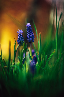 #214 - Grape hyacinths / Modřence