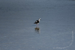 Pied stilt turn back (Photography by Julie Simpson) Tags: awhitupeninsular awhitu southauckland newzealand