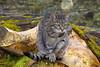 """Wild""(ish) Cat (eric robb niven) Tags: ericrobbniven scotland dunkeld dundee cat"