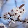 Spring is here (Martin Bärtges) Tags: sonnenschein sonne sunshine sun weis white blüten blossoms nikon germany blau himmel blue sky natur nature frühling spring flowers