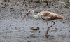 Marsh Mud Life (dianne_stankiewicz) Tags: ibis mud life