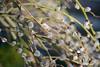 Verba-willow-seals (Vadim Beldiy) Tags: verbawillowseals seals willow verba bush shrub cluster nikon nikond600 mchelios81n helios81n helios81h гелиос81н мсгелиос81н nature naturebynikon nationalgeographic ngc photography elitephotography greatphotographers elitephotographers 50mm f2 fullframe spring april bloom blossom blossoming вадимбельдий бельдийвадим vadimbeldy vadimbeldiy manuallens manualfocus mf