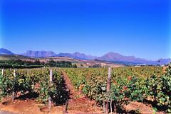 Vineyards of Stellenbosch