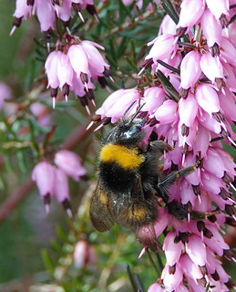Early Bumble Bee - Bombus pratorum