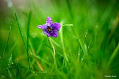 Petite violette dans la pelouse Ennery Val d'Oise 04/18 (didier95) Tags: violette fleur fleurbleue pelouse herbe vert bleu macro rosee rosée