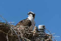 Male Osprey keeping watch