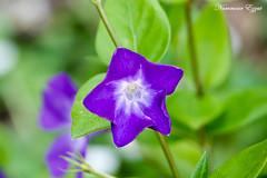 Grande Pervenche Vinca Major (Ezzo33) Tags: france gironde nouvelleaquitaine bordeaux ezzo33 nammour ezzat sony rx10m3 parc jardin fleur fleurs flower flowers jaune yellow grande pervenche vinca major