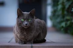 I am watching you! (explored) (Jana`s pics) Tags: cat katze cateye katzenaugen portrait haustier pet animal tier grey grau beobachten watch 100mm