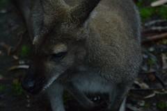 i'm a wallaby nice to meet you (moniq84) Tags: wallaby wallabies kangaroo australia travel animal bokeh dark naturephotography animals world island south wildlife park adelaide