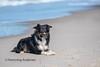 Beach boy (Flemming Andersen) Tags: sand pet nature water dog bordercollie outdoor sea yatzy hund animal bedstedthy northdenmarkregion denmark dk