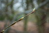 20180322-16_Coombe Abbey Country Park - Buds Waiting for Spring (gary.hadden) Tags: coombeabbey coombepark coventry warwickshire countrypark rambling countrywalking buds bokeh
