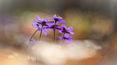 Spring!! (CecilieSonstebyPhotography) Tags: bokeh spring bygdøy flowers closeup flower ef100mmf28lmacroisusm canon markiii oslo macro anemonehepatica canon5dmarkiii stems stem anemone petal purple petals april coth5