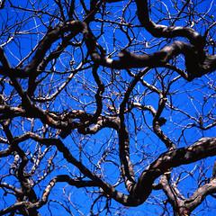 Winter Sky (colinpoe) Tags: wood cloisters bark rolleiflexautomat kodakfilm rolleiflex tlr 6x6 rolleiflexautomatk4a sky tree ektar100 branches mediumformat 120