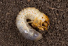 Melolontha sp. (NakaRB) Tags: larva insecta coleoptera scarabaeidae melolontha 2015