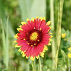 Blanketed (fillzees) Tags: flora wildflower flower botany taxonomy nature macro acteraceae red yellow green bokeh