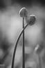 Together (e-lias hun) Tags: flower seeds feelings love nikon d7000 jupiter37a m42 vintagelens elias nature intimate blackandwhite