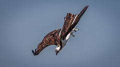 In the Dive (lpd5358) Tags: sanibelisland canon7dmarkii florida osprey raptor birdofprey baileytract dingdarlingnwr