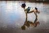 IMG_1526-1 (z70photo) Tags: crosby beach sea merseyside dog animal pet