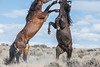 Wild Horses (Jami Bollschweiler Photography) Tags: wild horses onaqui herd utah wildlife photography nikon action stallions mares white